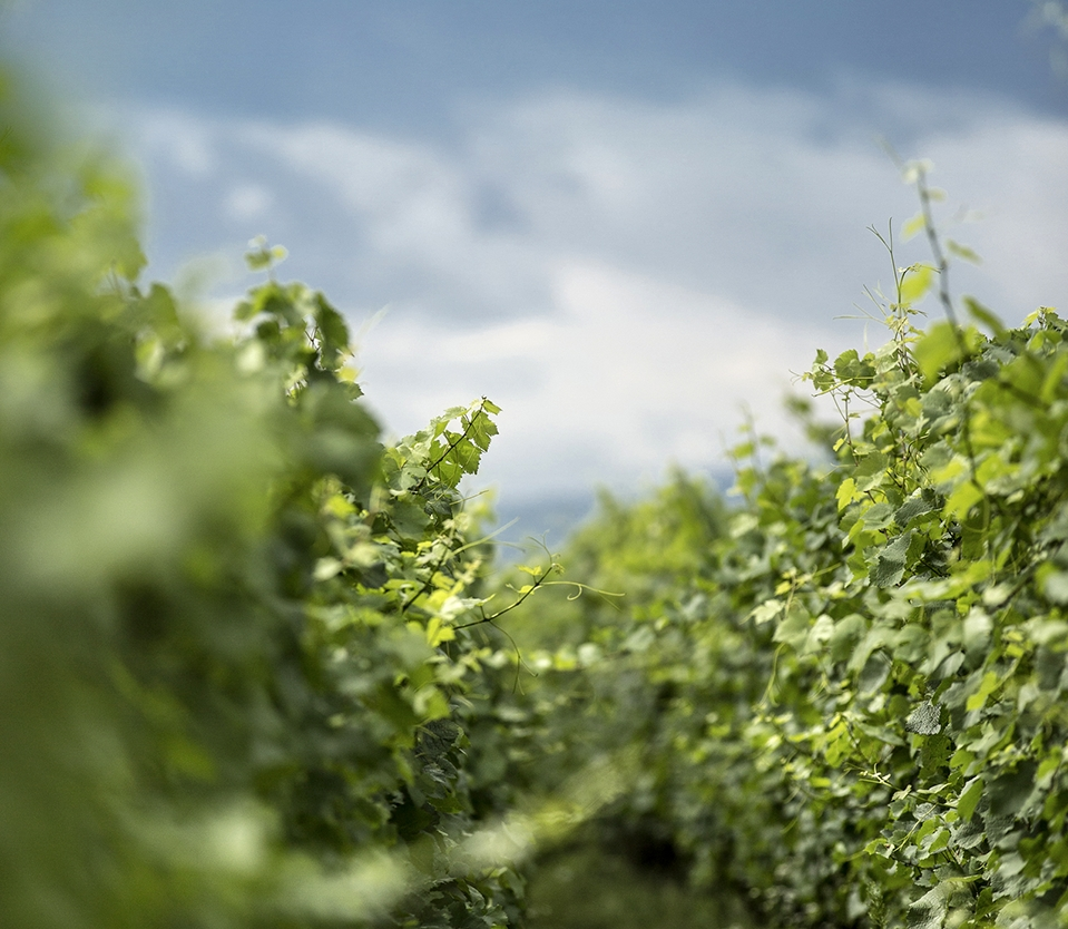 Vignes- Bennwihr - Alsace